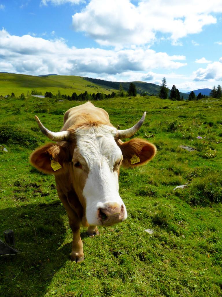 Kuh auf der Almwiese vor der Almhütte